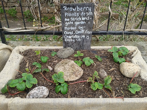 Strawberry plants at the Salvation Army raised beds in Penrith